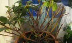 Спасаем Азалию — почему растение сбрасывает листья и что делать для решения проблемы?