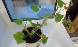 У герани желтеют листья зимой? Самый разумный вариант — оставить бѣдный цветок в покое