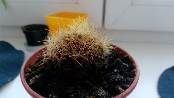 Почему погибает самое неприхотливое комнатное растение кактус, и как его спасти?