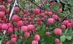 Почему яблоня плодоносит не каждый год.