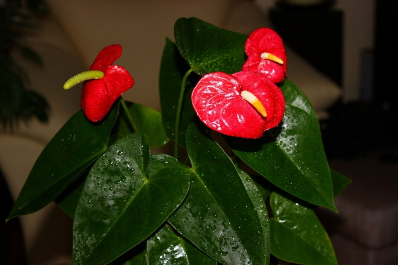 Цветок Мужское счастье, или Антуриум — пошаговая инструкция, как его рассадить, советы по последующему уходу