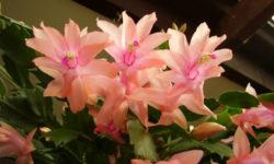 Как ухаживать за декабристом после цветения и когда надо пересадить