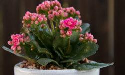 Как добиться обильного цветения Каланхоэ? Важные рекомендации, которые помогут вам в этом