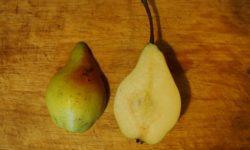 Летние сорта груш на айвовом подвое.