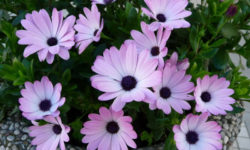 Жемчужинки сада: лепестки чистые, аки слеза. И цветёт с июня до осени без хлопот