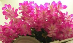 «Рождественский кактус» декабрист — как правильно поливать, чтобы он пышно цвёл и был здоровым?
