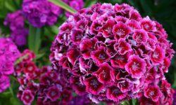 Турецкая гвоздика это один из самых излюбленных сортов у цветоводов.