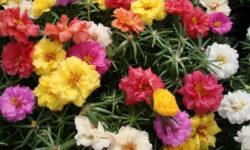 Находка для ленивого дачника: яркие цветы всё лето без полива