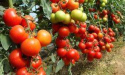 11 распространенных проблем при выращивании помидоров и способы их решения