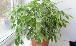 Фикус Бенджамина зимой: как помочь бедолаге, теряющему листья