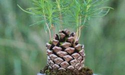 Как вырастить мини-елку из шишки