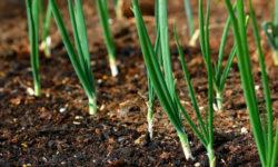 Как из семян лука-репки, за один сезон с помощью рассады, высаженной в январе, получаю крупные головки репчатого лука