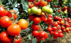 Лучшие сорта томатов на 2020 год.