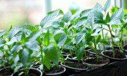 Какие сорта перцев, я уже купила для посева семян на рассаду в январе месяце?