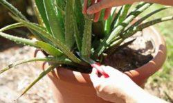 Учимся правильно обрезать Алоэ и наслаждаемся Здоровым растением