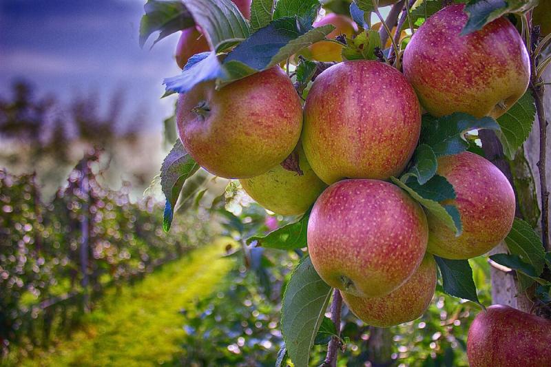 Что ни в коем случае нельзя сажать у Яблони, если хотите насладиться плодами летом