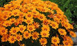 Яркий однолетник с шапками цветов: без рассады и капризов, цветет аж с июля по октябрь