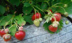 Высадив садовую землянику на рассаду семенами в феврале, урожай ягод уже получим в июле, августе