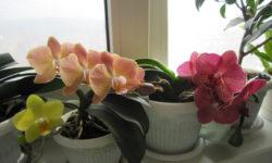 Хотите чтобы Орхидея дольше цвела? Янтарная кислота вам в помощь. Как правильно применять