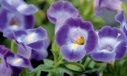 💎 А вы знакомы с торенией? Необычная «Глоксиния» для сада из семян