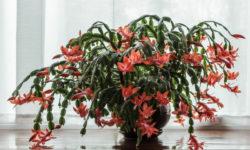 Как нельзя ухаживать за Декабристом? 4 главные ошибки, почему растение не цветет, либо вообще погибает