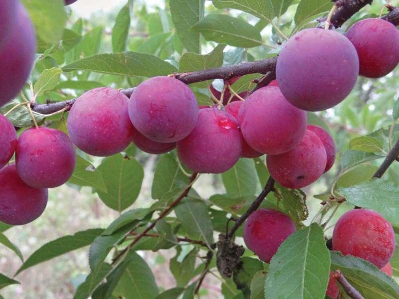 Хотите рекордный урожай Сливы в этом году? Обрезайте дерево вовремя и правильно, а потом наслаждайтесь сочными плодами
