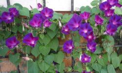 Топ 3 Лучших Вьющихся цветов для сада