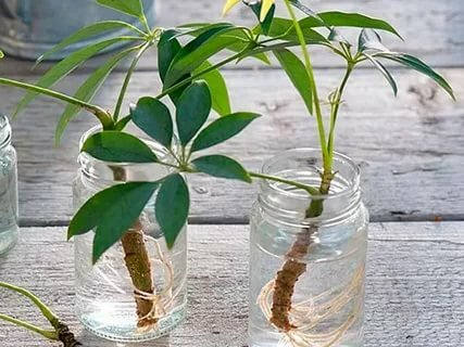 Укоренение любых черенков в воде: как увидеть корни, а не гниль