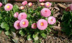 Топ 3 низкорослых Цветов для клумб, которые будут радовать вас Цветением все Лето