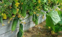 Что посадить после огурцов: даст хорошие урожаи. Я буду слушать правила агрономов и всем советую