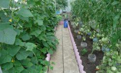 Почему я больше не выращиваю в одной теплице огурцы с томатами?
