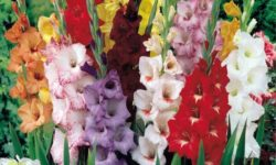 Выращиваем Гладиолусы без ядохимикатов и наслаждаемся пышным Цветением раскошных растений