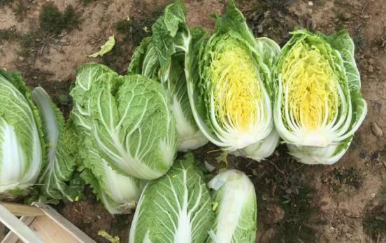 Пекинская Капуста не дает урожай и вся уходит в Цвет? Несколько простых советов помогут наслаждаться Овощем уже в этом году