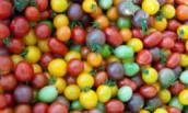 Разноцветные помидоры, это самое настоящее лекарство против старости и болезней