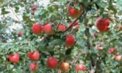 Самые удачные Подвои для Яблони, специально для тех, кто хочет получать Обильный и качественный Урожай каждый год
