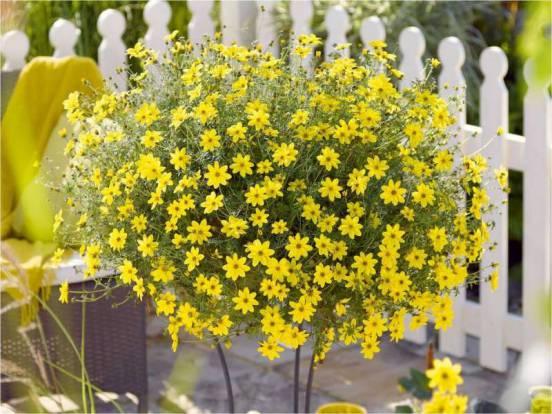 Неприхотливый однолетник: цветет все лето до глубокой осени
