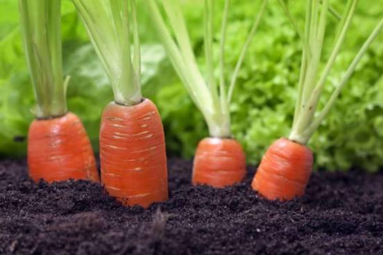 Рецепт лучшей Подкормки, после которой Морковь идет в быстрый рост