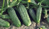 Вкусные сорта огурцов, которые не горчат, даже при неблагоприятных погодных условиях