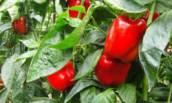Какие сорта сладкого болгарского перца нужно успеть высадить в марте