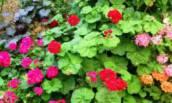 Чтобы Герань всегда радовала цветением в саду нужна 1 капля Йода. Рассказываю как правильно всё сделать