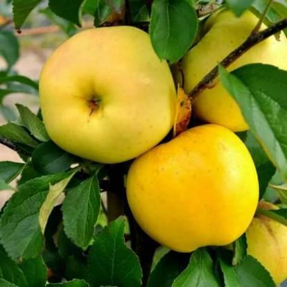 Желтые и невероятно Сладкие сорта Яблок, которые я советую иметь каждому Садоводу