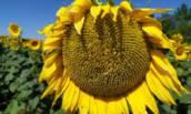 Семена подсолнечника БАЙЕР (ЕВРАЛИС)