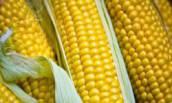 Семена кукурузы компании Limagrain