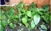 Делюсь своим Опытом, как я поливаю рассаду Перца, чтобы получить здоровые и Крепкие растения