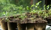 Как правильно лечить рассаду, чтобы не потерять молодые растения?