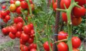 Кистевые сорта томатов с высоким урожаем, но с меньшими усилиями при уходе