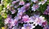 3 Важных совета по выращиванию Клематисов в саду. Помогут начинающему Садоводу добиться шикарного Цветения красивых цветов