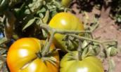 Низкорослые томаты сажаю каждый год. И вам советую