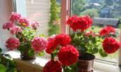 2 обязательные подкормки для герани весной 👀 Делаю каждый год и любуюсь
