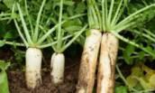 Почему я отказалась от выращивания на своём огороде редиса, уже несколько лет выращиваю вместо редиса дайкон?